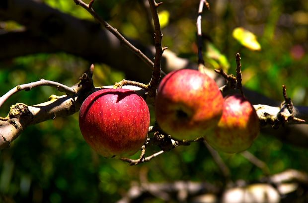 Apple at Manali