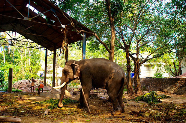 Guruvayoor India  city photos gallery : Anakotta elephant sanctuary Punnathur Kotta