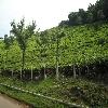 Coonoor Tea garden